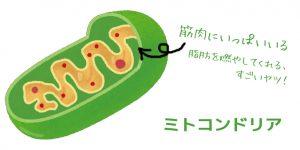 ミトコンドリアは脂肪を燃やしてくれる